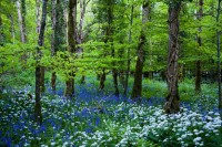 Bluebell Wood_1